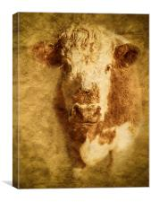Textured Hereford Bullock, Canvas Print