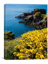 Gorse (Ulex) St Nons Bay West Wales, Canvas Print