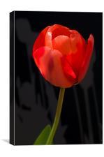 Tulip Shadows, Canvas Print