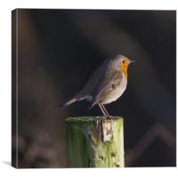 Robin on wooden fence post, Canvas Print