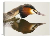 Great Crested Grebe, Canvas Print