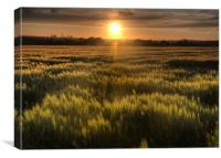 Early summer cornfield, Canvas Print
