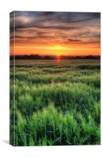 Early summer cornfield, Canvas Print