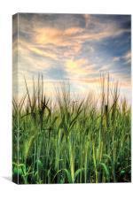 Cornfield after sunset, Canvas Print