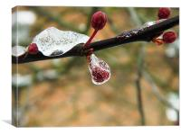 Cherry bud in ice, Canvas Print