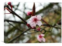 Cherry blossom in bloom, Canvas Print