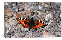 Butterfly on stones, Canvas Print