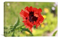 Poppy on the wayside, Canvas Print