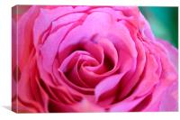 A rose in bloom, Canvas Print