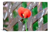 Bee flying towards Poppy, Canvas Print