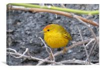 Yellow Warbler, Canvas Print