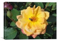 Yellow and Pink Rose with wasp., Canvas Print