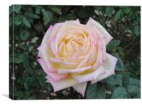 Pink and Yellow Rose., Canvas Print
