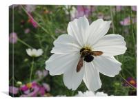 Pollen Gatherer, Canvas Print