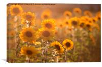 Sunflower Sunset, Canvas Print