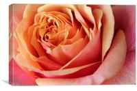Rose flower, Canvas Print