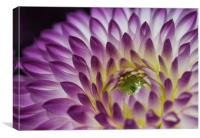 Peeping Chrysanthemum purple flower, Canvas Print