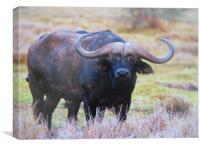 cape buffalo, Canvas Print