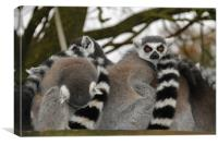 Ring Tailed Lemur, Canvas Print