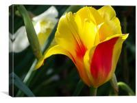 Spring Tulip, Canvas Print