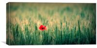 One red poppy, Canvas Print