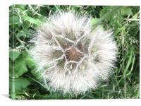 dandelion seed head, Canvas Print