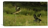 Red Kite Attack, Canvas Print