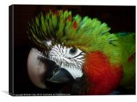 Fluffy Jubilee macaw, Canvas Print