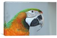 Harlequin macaw, Canvas Print