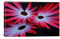 Daisy explosion, Canvas Print
