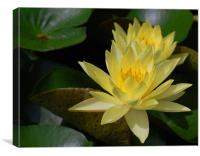 Yellow Water Lilly, Canvas Print