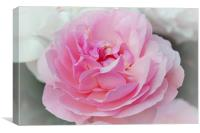 Lovely Pink Rose, Canvas Print
