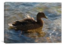 Lady Mallard Duck, Canvas Print