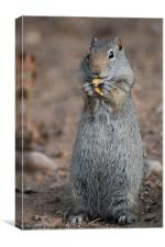 Snacking Ground Squirrel, Canvas Print