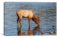 Young Bull Elk, Canvas Print
