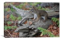 Cute Pine Squirrel, Canvas Print