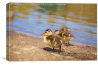 Cute Little Duckling, Canvas Print