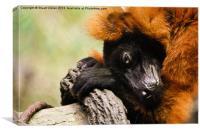 Red Ruffed Lemur, Canvas Print