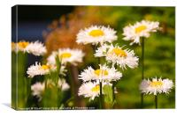 Daisies in the Summer, Canvas Print