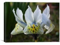 White Iris, Canvas Print