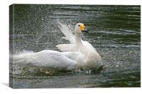 Splashing swan, Canvas Print