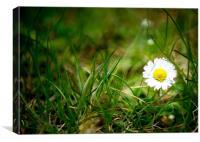 Spring Daisy, Canvas Print