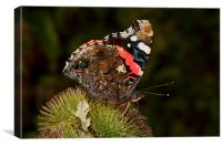 Red Admiral by JCstudios, Canvas Print