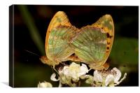 Silver washed Fritillery, Canvas Print
