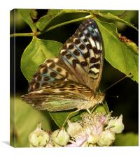 Silver-Washed Fritillary (Valensina) by JCstudios, Canvas Print