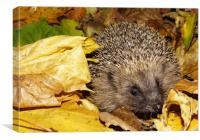 Hedgehog, Canvas Print
