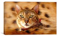 Bengal spotty belly, Canvas Print