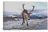 Highland Stag keeping watch over land, Canvas Print