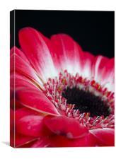 Floral Contrast, Canvas Print