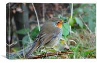 Robin resting on a twig, Canvas Print